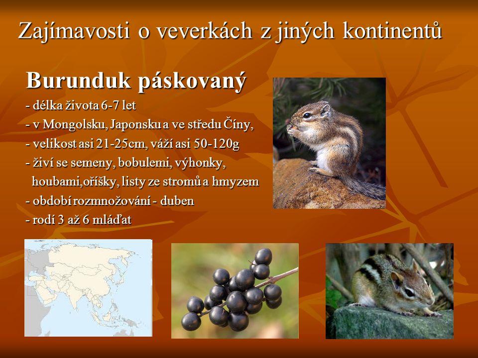 Zajímavosti o veverkách z jiných kontinentů Burunduk páskovaný - délka života 6-7 let - v Mongolsku, Japonsku a ve středu Číny, - velikost asi 21-25cm, váží asi 50-120g - živí se semeny, bobulemi, výhonky, houbami,oříšky, listy ze stromů a hmyzem houbami,oříšky, listy ze stromů a hmyzem - období rozmnožování - duben - rodí 3 až 6 mláďat