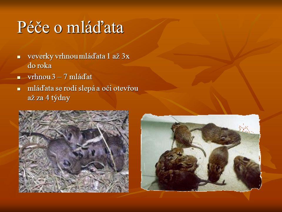 Péče o mláďata veverky vrhnou mláďata 1 až 3x do roka veverky vrhnou mláďata 1 až 3x do roka vrhnou 3 – 7 mláďat vrhnou 3 – 7 mláďat mláďata se rodí slepá a oči otevřou až za 4 týdny mláďata se rodí slepá a oči otevřou až za 4 týdny
