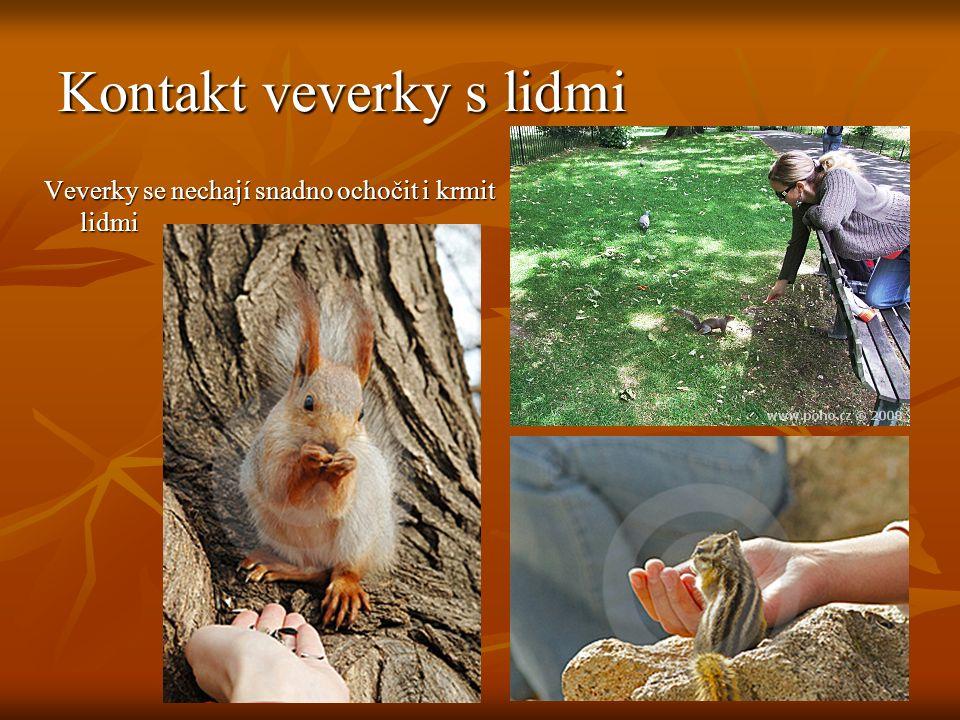 Kontakt veverky s lidmi Veverky se nechají snadno ochočit i krmit lidmi