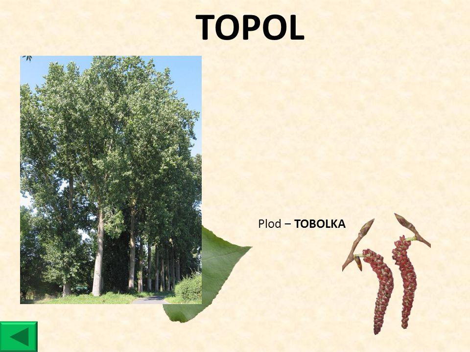 TOPOL Plod ‒ TOBOLKA