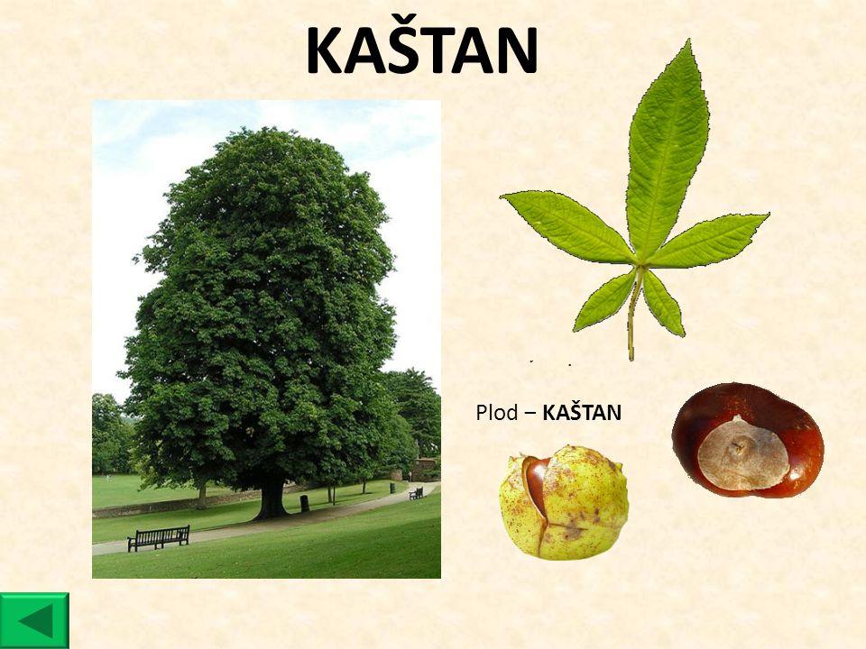 KAŠTAN Plod ‒ KAŠTAN