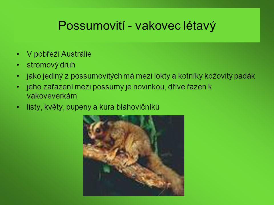 Possumovití - vakovec létavý V pobřeží Austrálie stromový druh jako jediný z possumovitých má mezi lokty a kotníky kožovitý padák jeho zařazení mezi p