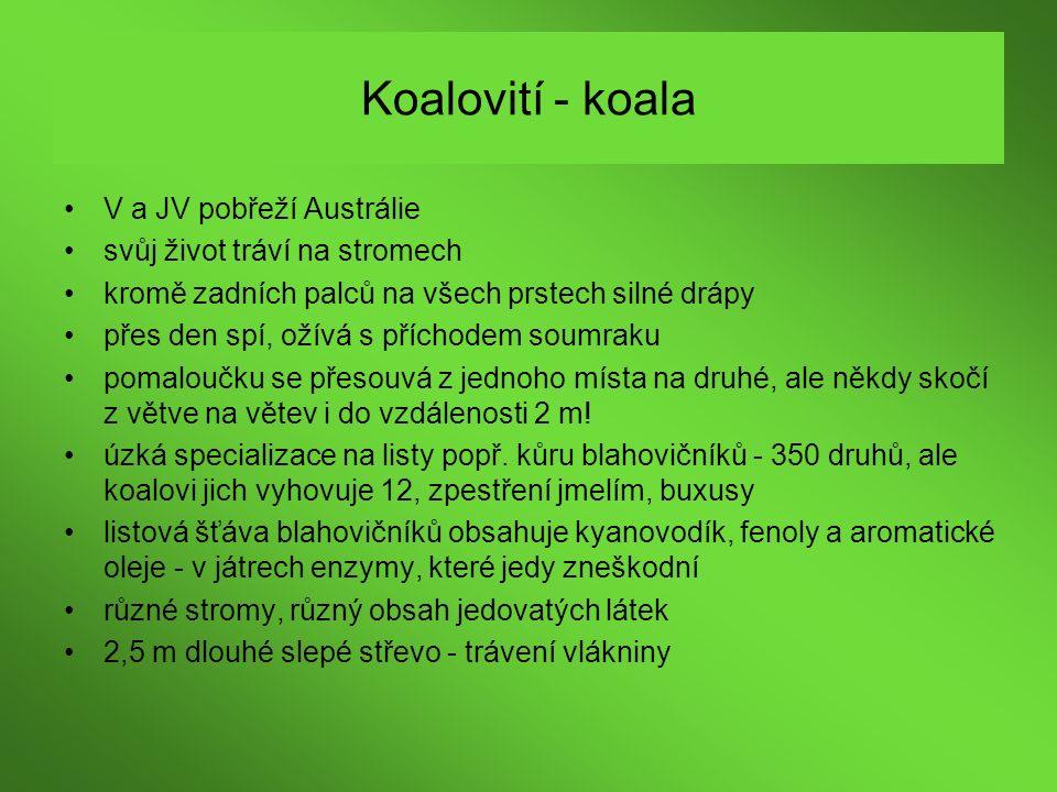 Koalovití - koala V a JV pobřeží Austrálie svůj život tráví na stromech kromě zadních palců na všech prstech silné drápy přes den spí, ožívá s příchod