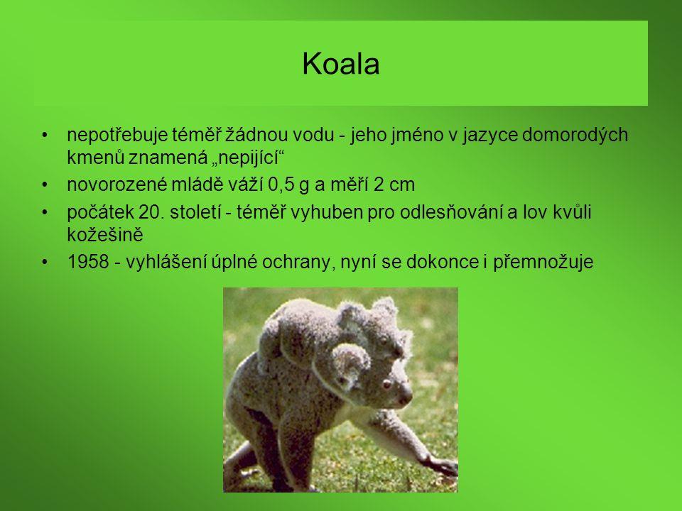 """Koala nepotřebuje téměř žádnou vodu - jeho jméno v jazyce domorodých kmenů znamená """"nepijící"""" novorozené mládě váží 0,5 g a měří 2 cm počátek 20. stol"""