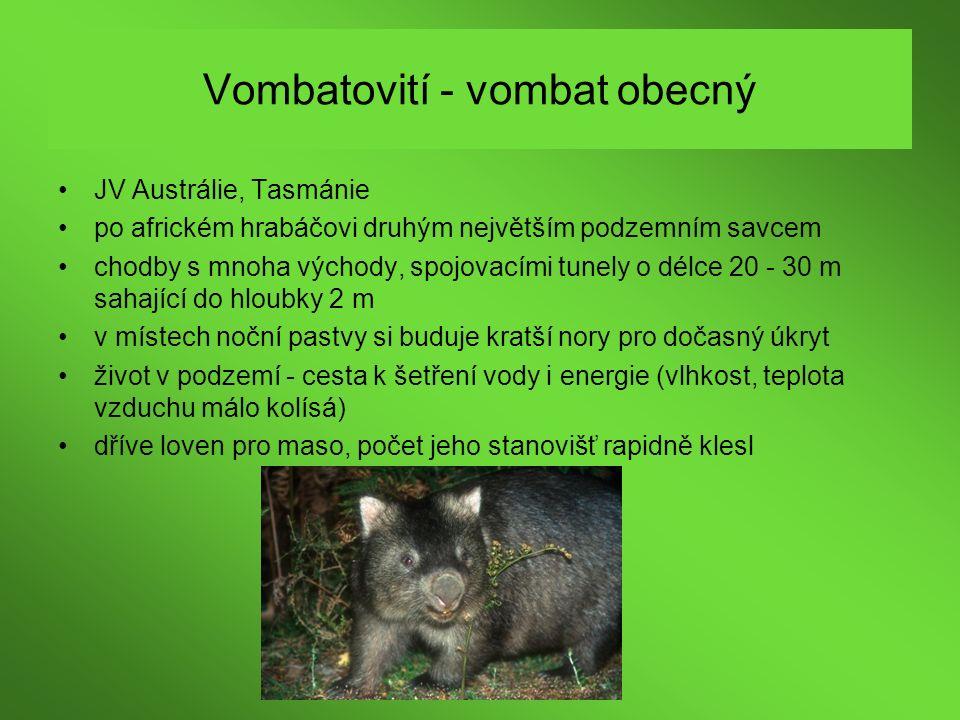 Vombatovití - vombat obecný JV Austrálie, Tasmánie po africkém hrabáčovi druhým největším podzemním savcem chodby s mnoha východy, spojovacími tunely