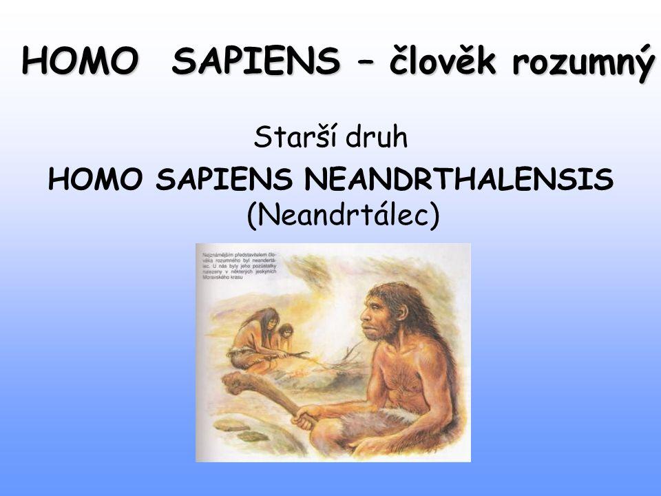 HOMO SAPIENS – člověk rozumný Starší druh HOMO SAPIENS NEANDRTHALENSIS (Neandrtálec)