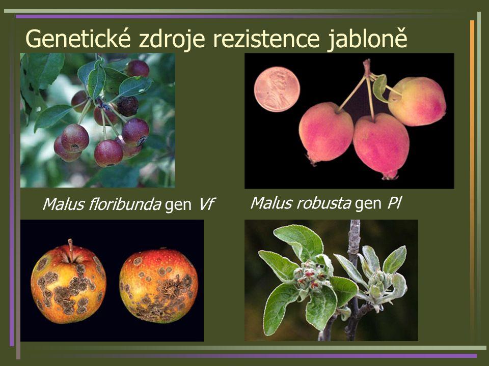 Genetické zdroje rezistence jabloně Malus floribunda gen Vf Malus robusta gen Pl