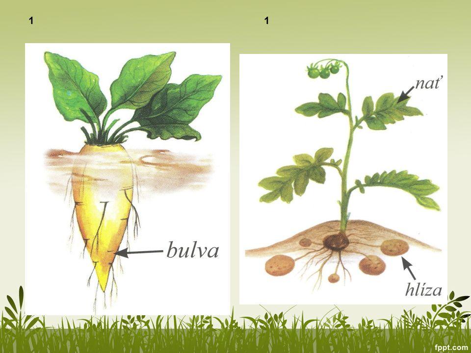 1 Řepa obecná cukrovka Lilek brambor