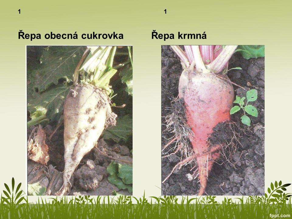 Luskoviny 3 Plodem je lusk, v něm se ukrývají semena Semena se nazývají luštěniny Nejznámější je hrách, fazole, čočka nebo sója Jsou nepostradatelnou součástí jídelníčku, vaříme z nich kaše, polévky, saláty Sója může nahradit i maso