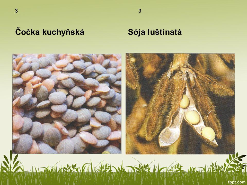 Olejniny 3 Z jejich semen se získává olej Brukev řepka olejka Slunečnice roční
