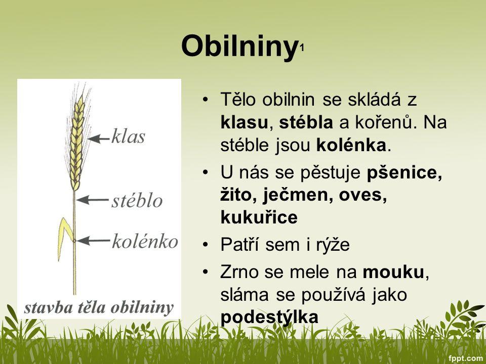 Obilniny 1 Tělo obilnin se skládá z klasu, stébla a kořenů. Na stéble jsou kolénka. U nás se pěstuje pšenice, žito, ječmen, oves, kukuřice Patří sem i