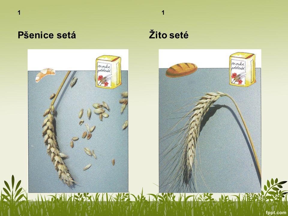 1 Pšenice setáŽito seté
