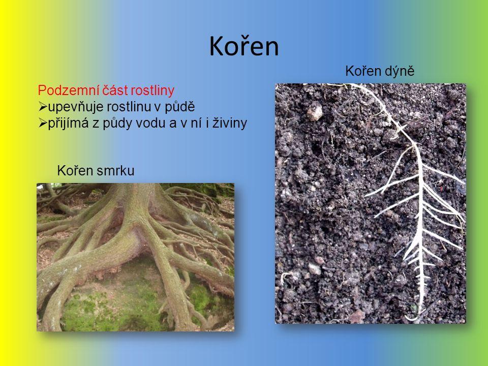 Kořen Podzemní část rostliny  upevňuje rostlinu v půdě  přijímá z půdy vodu a v ní i živiny Kořen smrku Kořen dýně