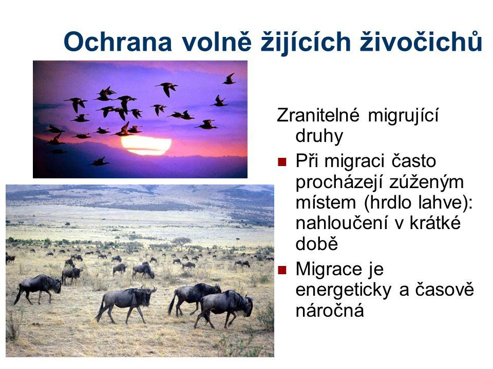 Ochrana volně žijících živočichů Zranitelné migrující druhy Při migraci často procházejí zúženým místem (hrdlo lahve): nahloučení v krátké době Migrace je energeticky a časově náročná