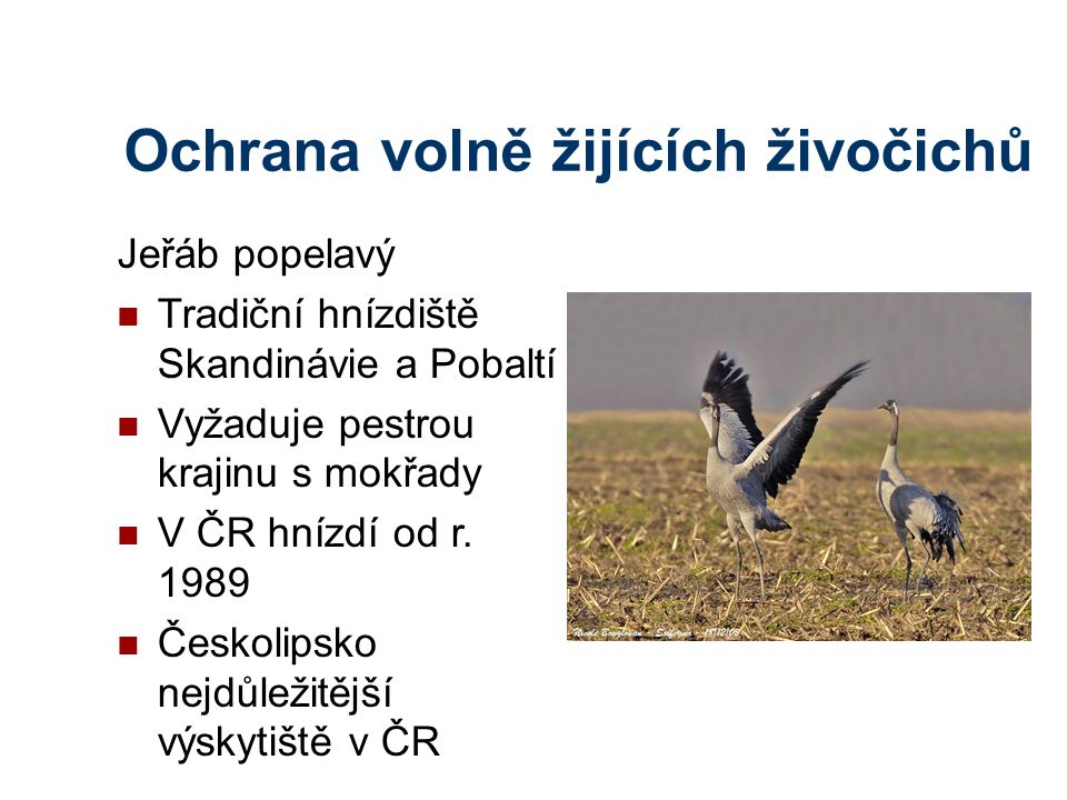Ochrana volně žijících živočichů Jeřáb popelavý Tradiční hnízdiště Skandinávie a Pobaltí Vyžaduje pestrou krajinu s mokřady V ČR hnízdí od r.