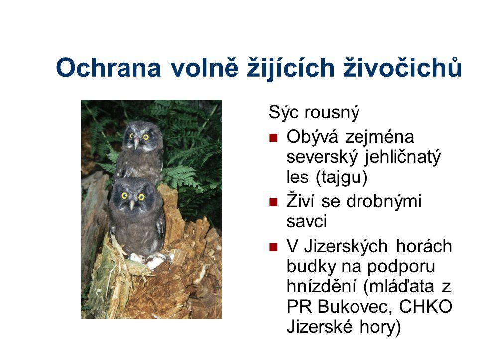 Ochrana volně žijících živočichů Sýc rousný Obývá zejména severský jehličnatý les (tajgu) Živí se drobnými savci V Jizerských horách budky na podporu hnízdění (mláďata z PR Bukovec, CHKO Jizerské hory)