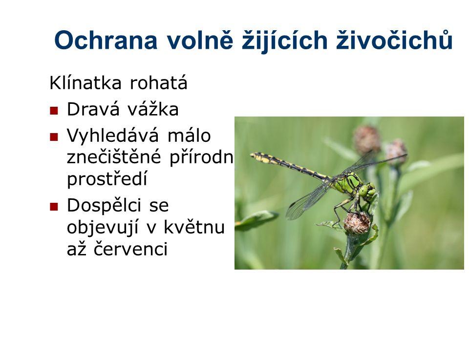 Ochrana volně žijících živočichů Klínatka rohatá Dravá vážka Vyhledává málo znečištěné přírodní prostředí Dospělci se objevují v květnu až červenci