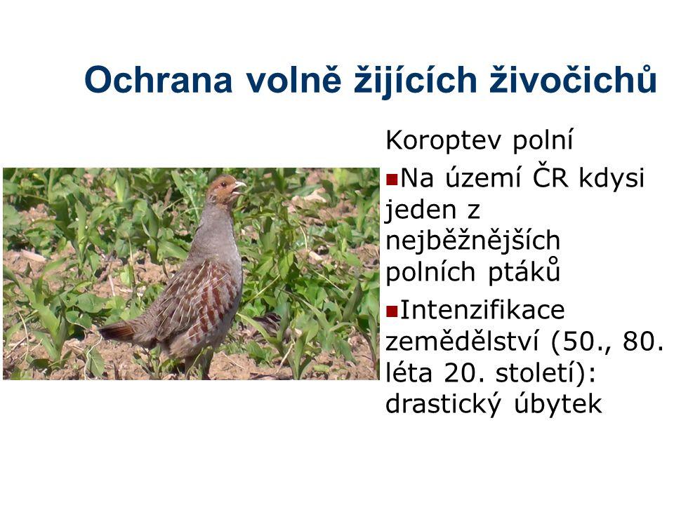 Ochrana volně žijících živočichů Koroptev polní Na území ČR kdysi jeden z nejběžnějších polních ptáků Intenzifikace zemědělství (50., 80. léta 20. sto