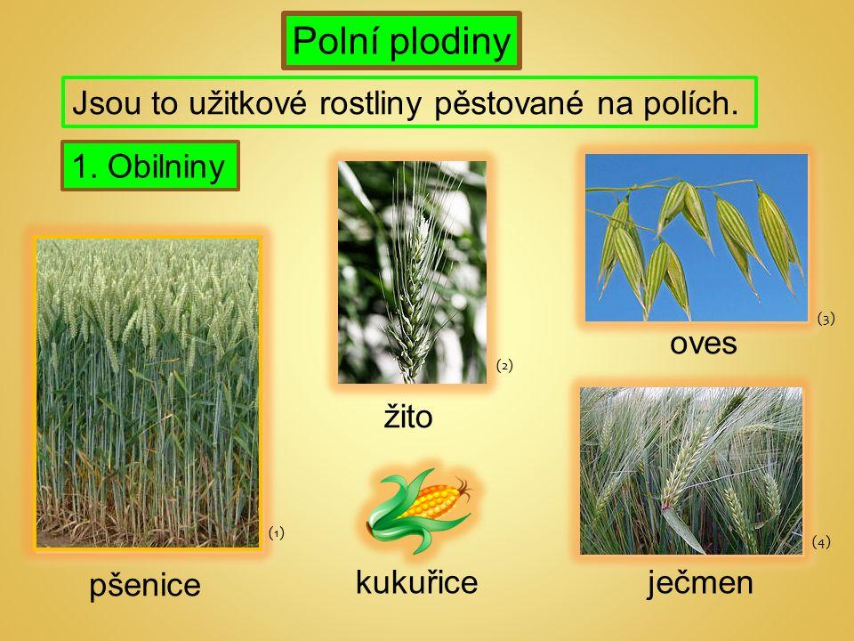 Polní plodiny 1. Obilniny Jsou to užitkové rostliny pěstované na polích.