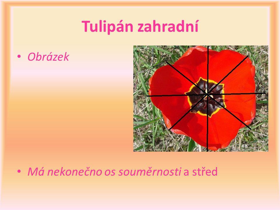 Tulipán zahradní Obrázek Má nekonečno os souměrnosti a střed