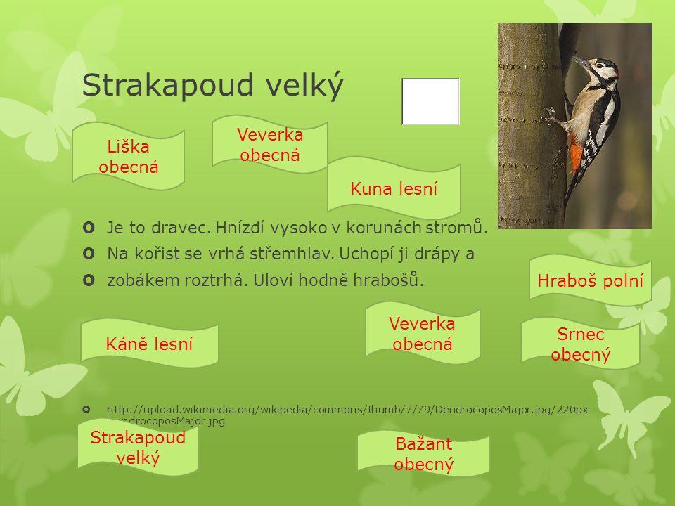 Strakapoud velký  Je to dravec. Hnízdí vysoko v korunách stromů.