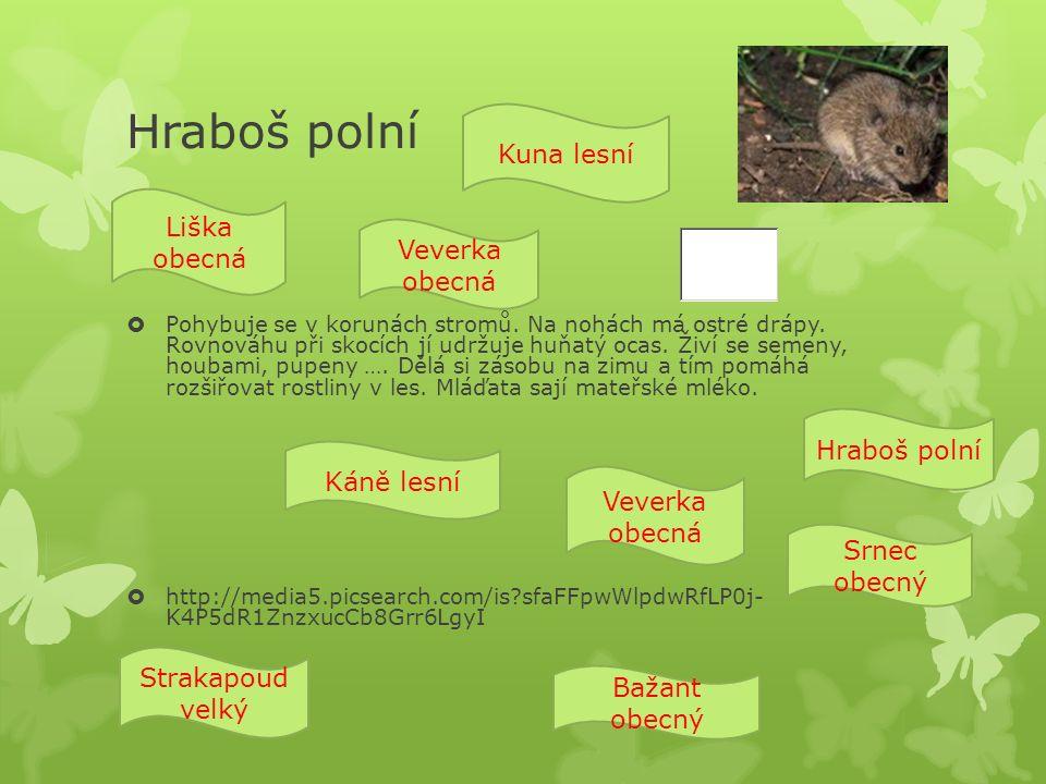 Strakapoud velký  Je to dravec.Hnízdí vysoko v korunách stromů.