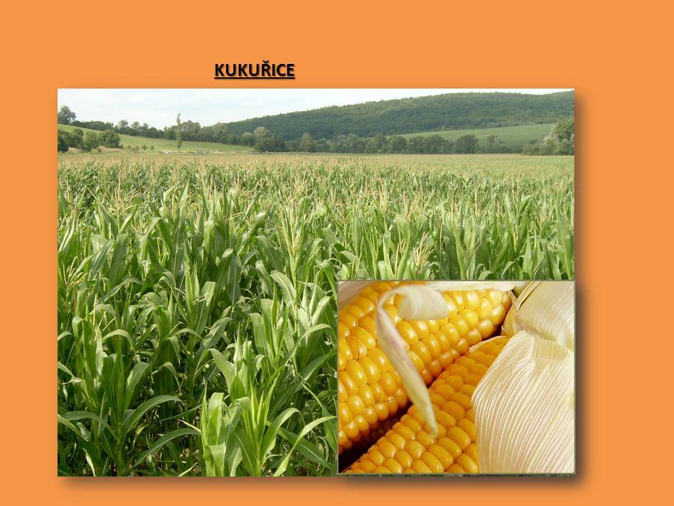 SPRÁVNÉ ŘEŠENÍ OBILNINY OKOPANINY LUSKOVINY brambory řepka olejka ječmen OLEJNINY sója slunečnice čočka tuřín kukuřice