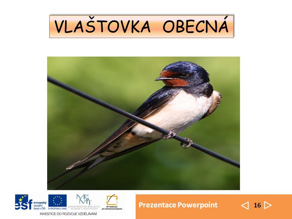 Prezentace Powerpoint 16 VLAŠTOVKA OBECNÁ