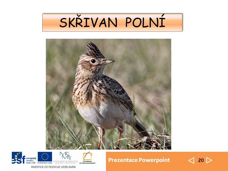 Prezentace Powerpoint 20 SKŘIVAN POLNÍ