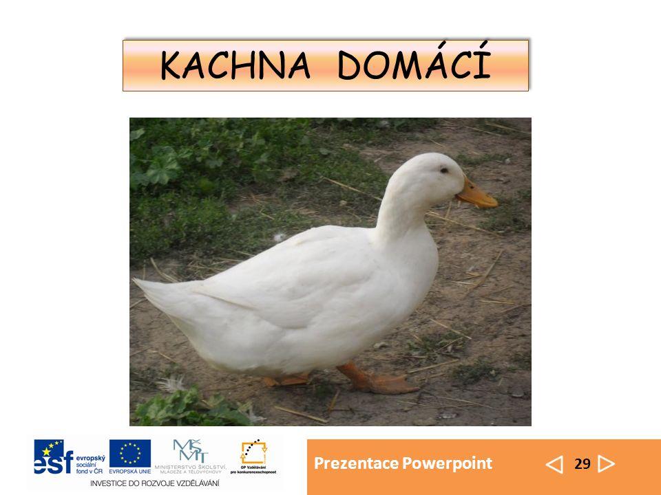 Prezentace Powerpoint 29 KACHNA DOMÁCÍ