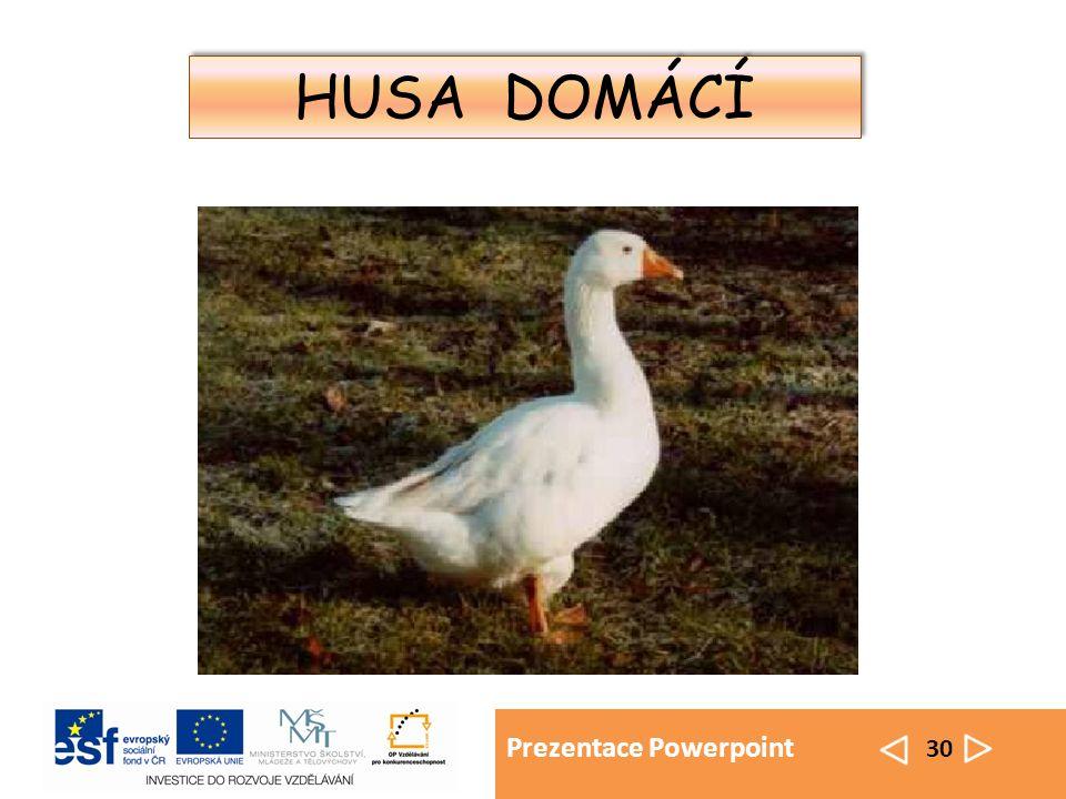 Prezentace Powerpoint 30 HUSA DOMÁCÍ