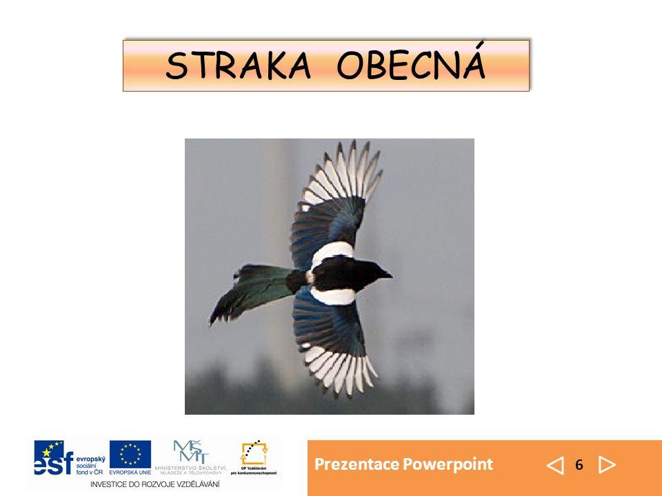 Prezentace Powerpoint 6 STRAKA OBECNÁ