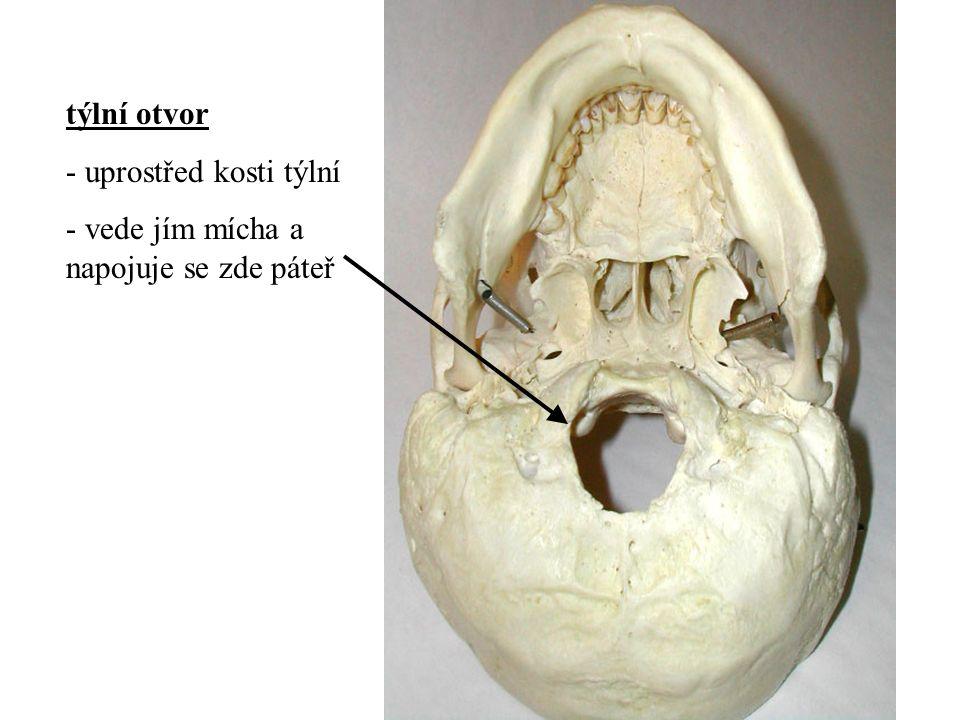 týlní otvor - uprostřed kosti týlní - vede jím mícha a napojuje se zde páteř