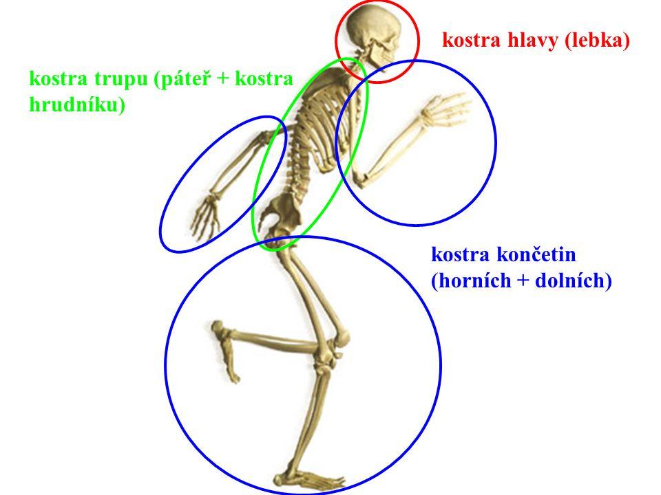 kostra hlavy (lebka) kostra trupu (páteř + kostra hrudníku) kostra končetin (horních + dolních)