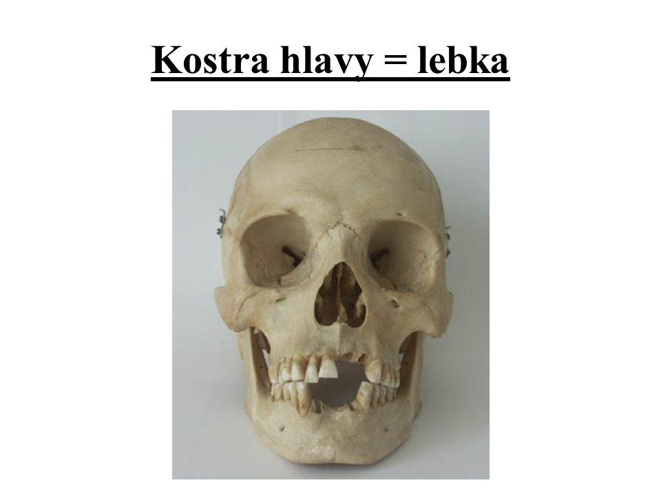 Kostra hlavy = lebka