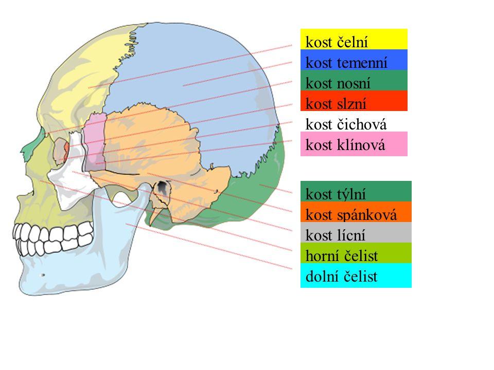 kost čelní kost temenní kost nosní kost slzní kost čichová kost klínová kost týlní kost spánková kost lícní horní čelist dolní čelist