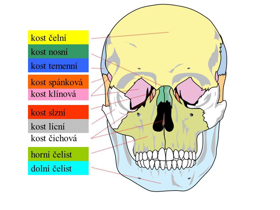 kost čelní kost temenní kost nosní kost slzní kost čichová kost klínová kost spánková kost lícní horní čelist dolní čelist