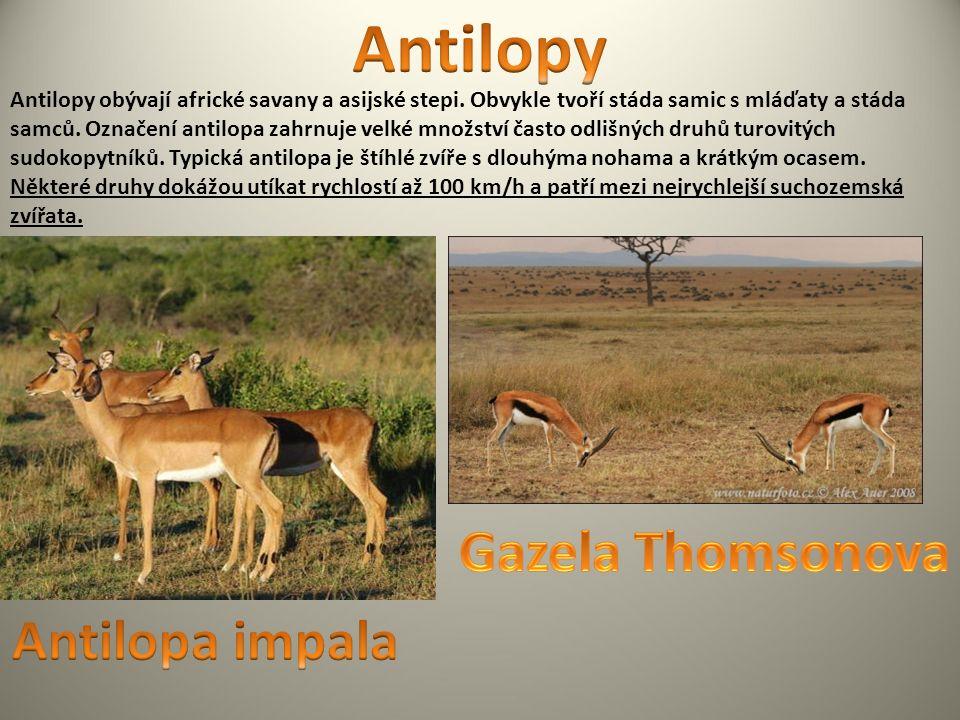 Antilopy obývají africké savany a asijské stepi. Obvykle tvoří stáda samic s mláďaty a stáda samců.
