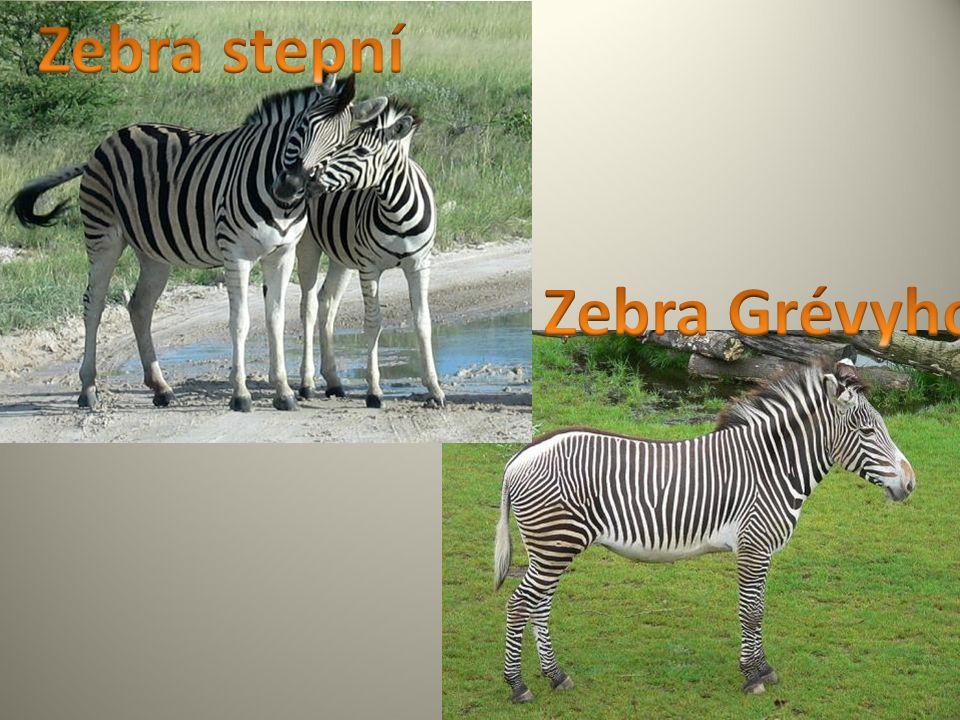 Pro zebru je charakteristická srst s bílo-černými pruhy.