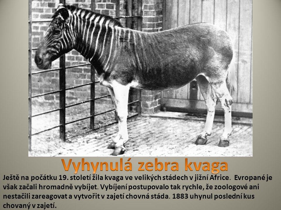 Ještě na počátku 19. století žila kvaga ve velikých stádech v jižní Africe.