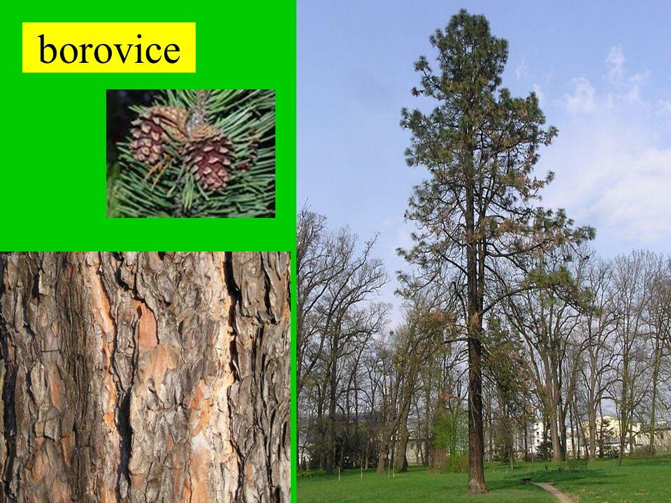 Borovice lesní je strom s hlavním kořenem a široce rozestřenou plochou korunou vysazována je pro zpevnění sutí a písčitých půd nebo jako okrasný strom může dorůst výšky až 40 metrů dožívá se stáří 300 až 350 let má pružné, lehké a měkké pryskyřičnaté dřevo s výraznou kresbou letokruhů POUŽITÍ: - na výdřevu v dolech - na výrobu pražců - na výrobu lodí - slouží jako palivo Pryskyřice je zdrojem terpenických látek.