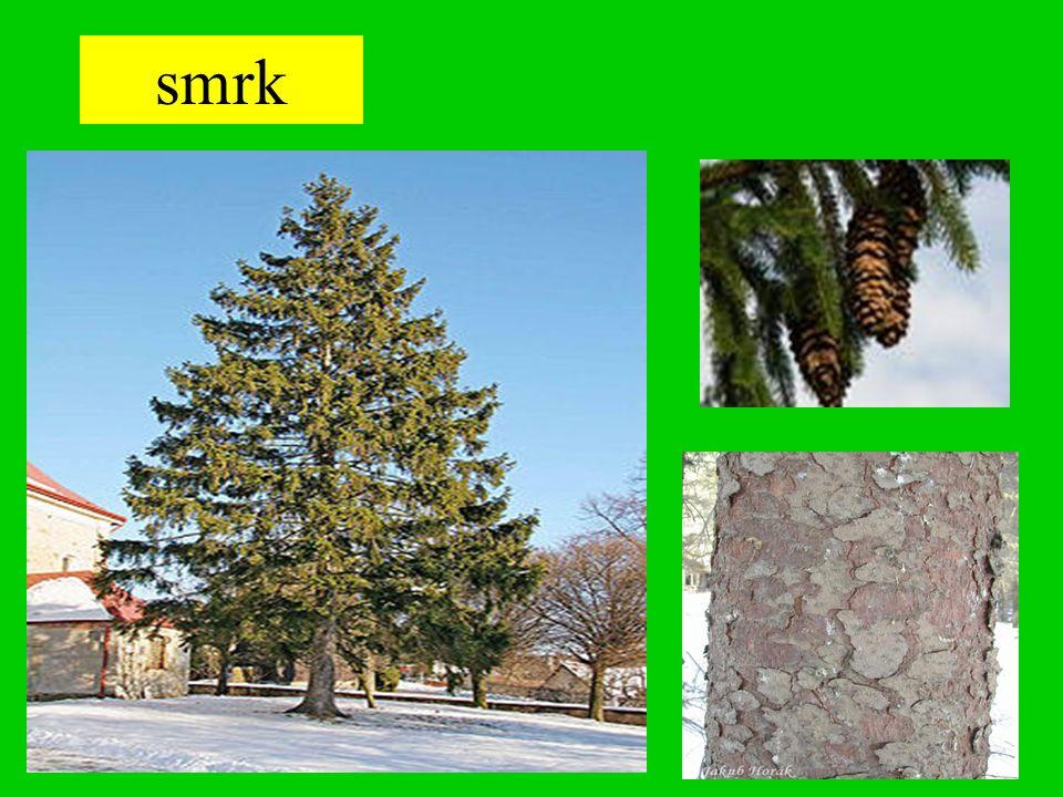 Smrk stále zelený jehličnatý strom s rovným kmenem nemá hlavní kořen dorůstá výšky až 50 m POUŽITÍ: - výroba papíru - výroba nábytku - na stavbách - topivo