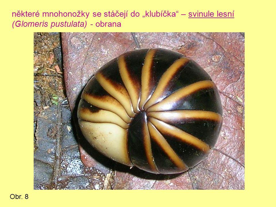"""některé mnohonožky se stáčejí do """"klubíčka – svinule lesní (Glomeris pustulata) - obrana Obr. 8"""