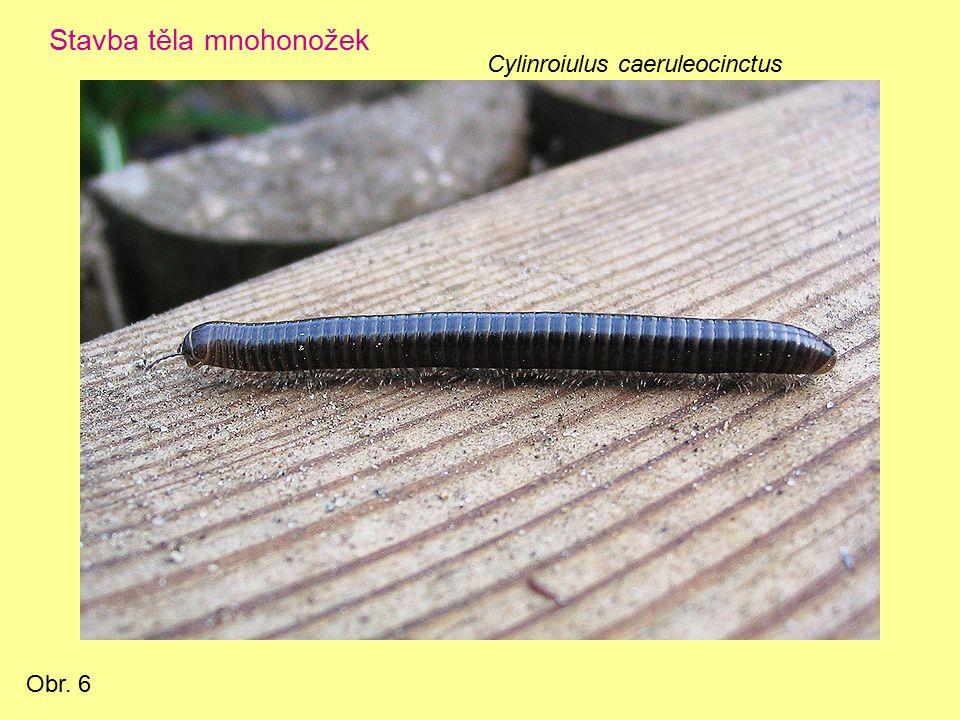 Mnohonožka slepá (Blaniulus guttulatus) Obr. 7