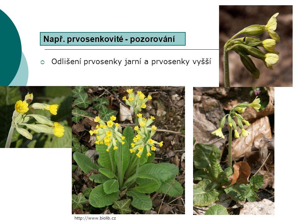  popis modelové rostliny  vysvětlování principu tvorby květního vzorce/diagramu (sestavení květního vzorce/diagramu)  pozorování zástupců čeledi  Atd.