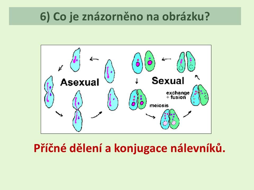 6) Co je znázorněno na obrázku? Příčné dělení a konjugace nálevníků.