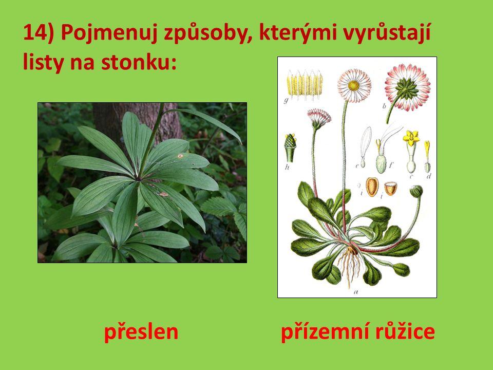 14) Pojmenuj způsoby, kterými vyrůstají listy na stonku: přeslen přízemní růžice