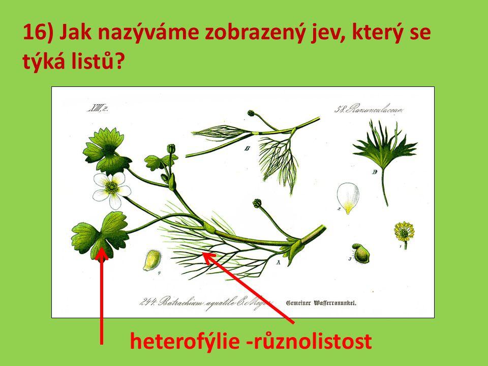 16) Jak nazýváme zobrazený jev, který se týká listů heterofýlie -různolistost