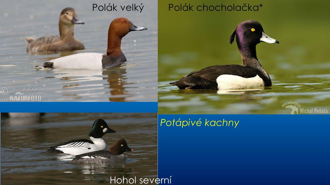 Polák velký Polák chocholačka* Potápivé kachny Hohol severní