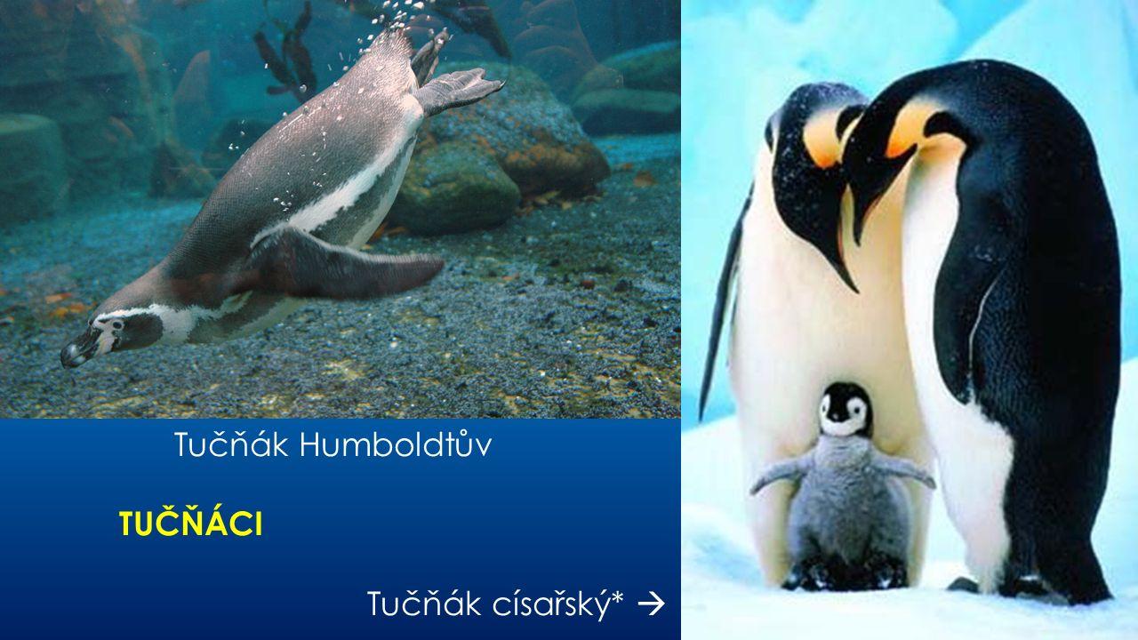 Tučňák Humboldtův TUČŇÁCI Tučňák císařský* 